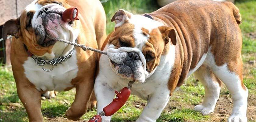 dois cães disoutando um brinquedo de salsicha