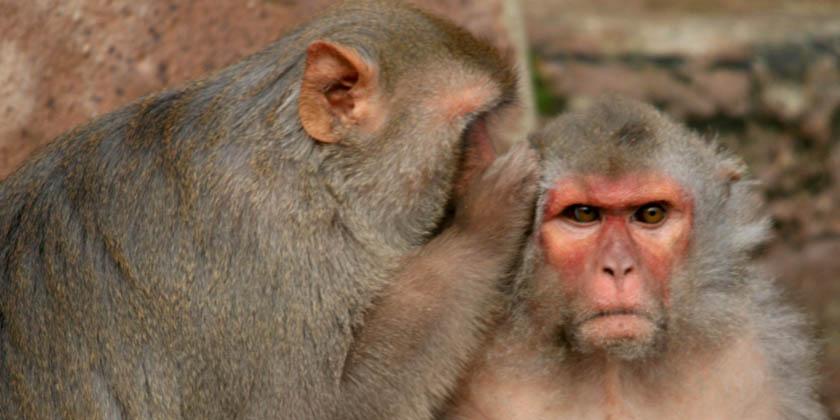 um macaco cochichando no ouvido de outro
